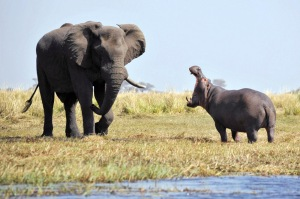 Hippopotamus defends territory from elephant, Chobe River, Botswana - Aug 2013