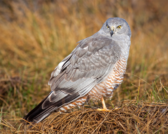 Female Cinereous Harrier