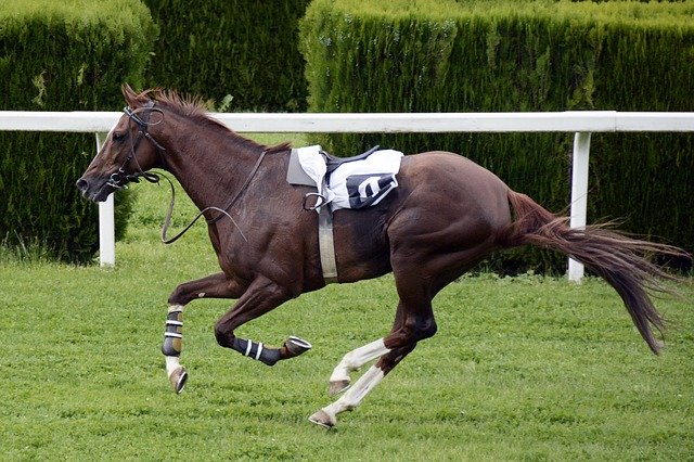Riderless horse with racing saddle in full gallop